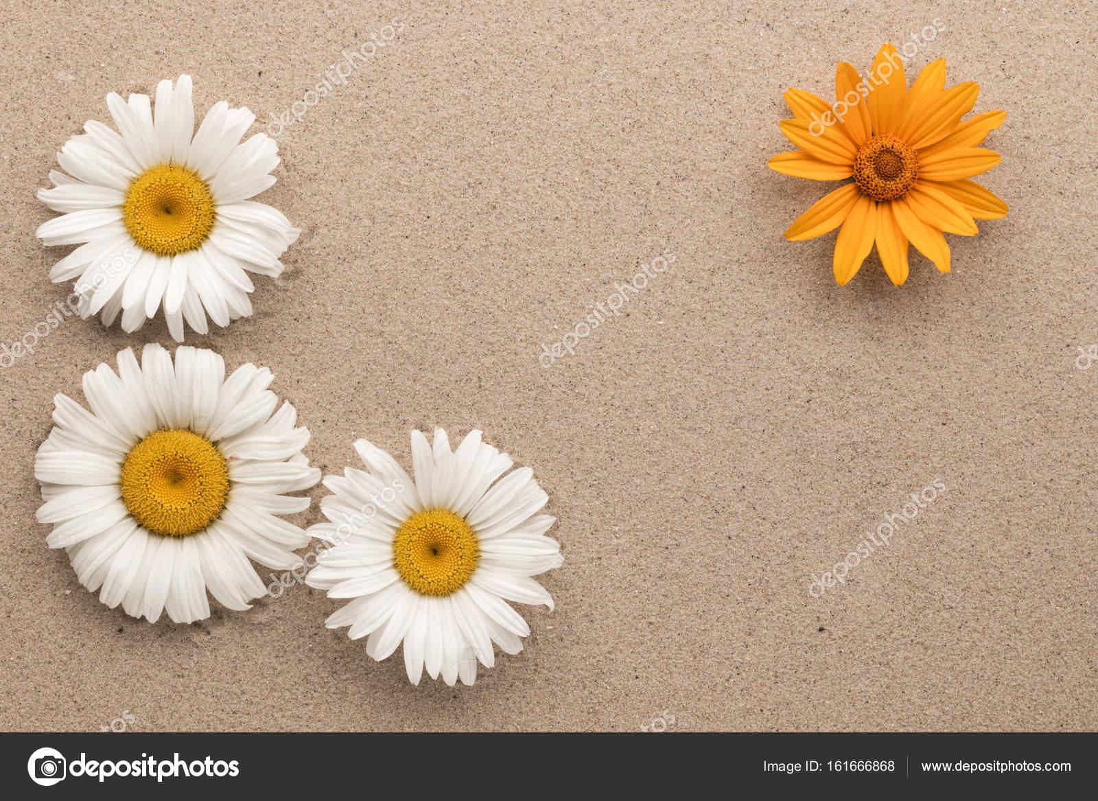 Marco de tres blancos y margaritas amarillas una en la arena — Foto ...