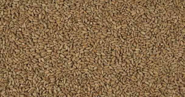 Rotation, Hintergrund aus Weizenkörnern. Lebensmittelgeschäft Hintergrund. Ansicht von oben. Kopierraum.