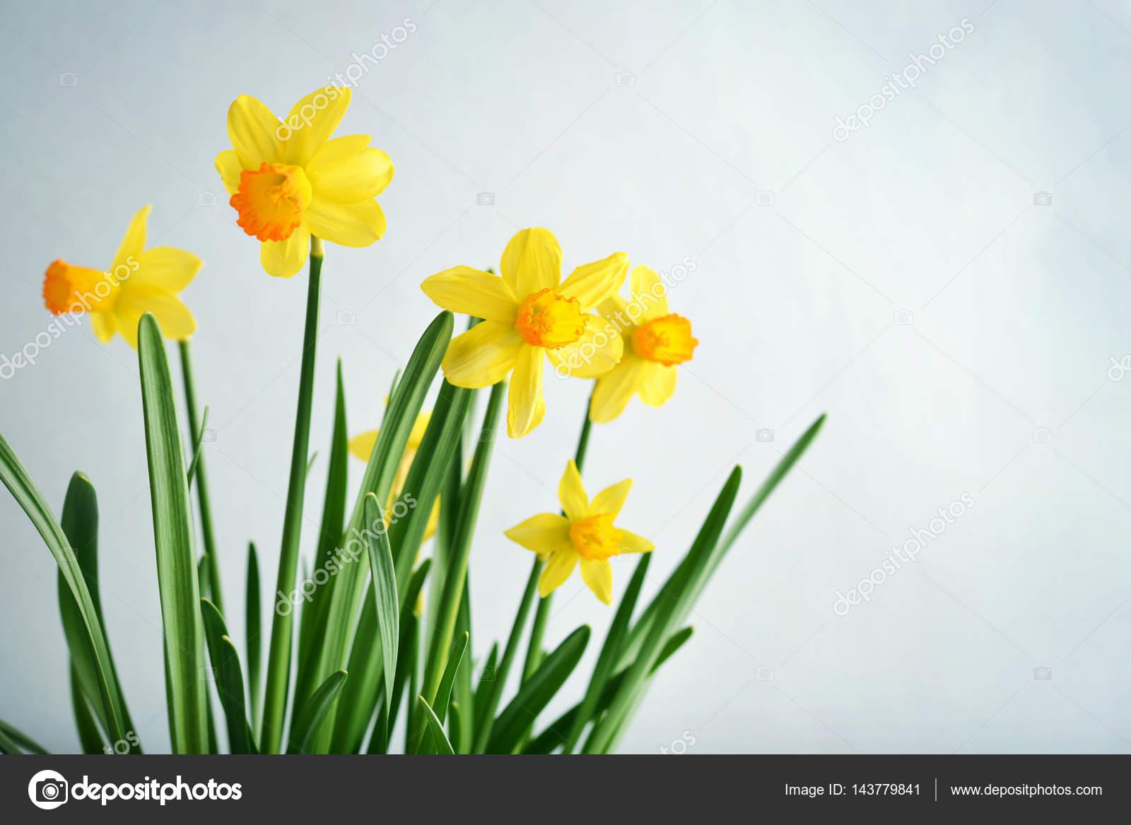 Spring Flowers Daffodils Stock Photo C Tashka2000 143779841