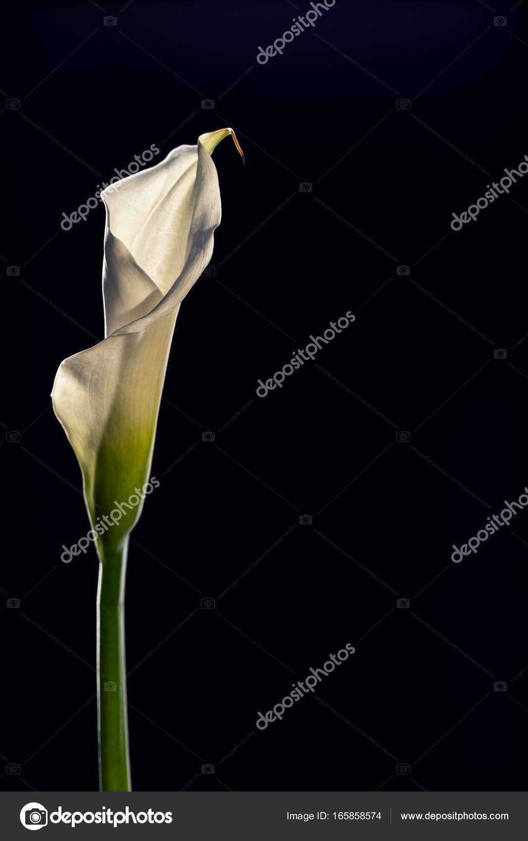 Single Beautiful White Calla Lily Flower Isolated On A Black Bac