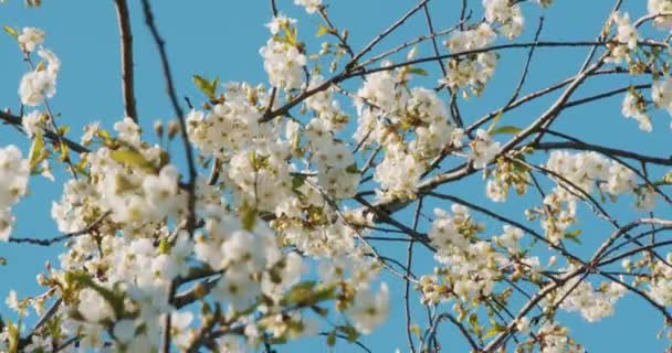 Beautiful blooming cherry tree branch with flowers in sunny day in spring season against blue sky