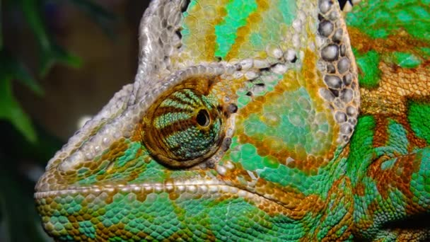 Chameleon jemenský, kužel hlava (Chamaeleo calyptratus)