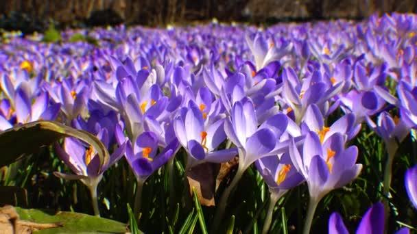 Szép tavaszi krókuszok és galanthus