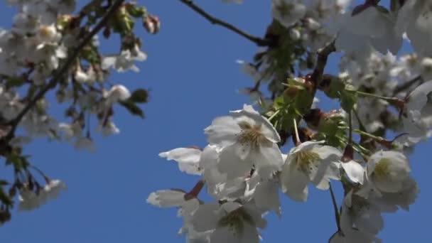 A cseresznyevirág is több fa, Prunus nemzetség virága