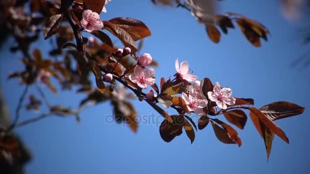 Ebony cherry blossoms yes Bravo