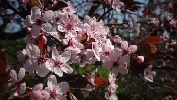 Una Flor De Cerezo Es La Flor De Cualquiera De Varios árboles Del