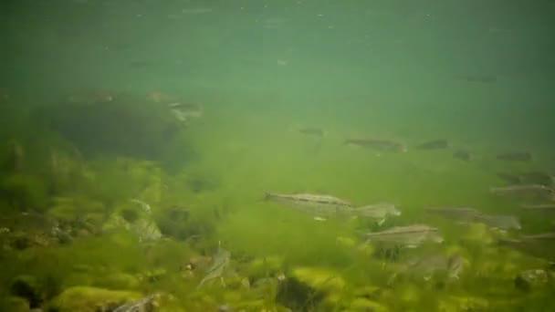 zwei Gruppen laichender goldgrauer Meerbarben (liza aurata), Weitschuss. Schwarzes Meer