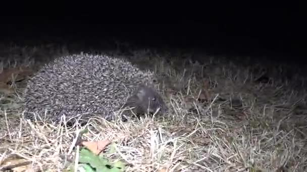 Hedgehog (Erinaceus europaeus)  running on the ground. A prickly animal that feeds on insects, worms