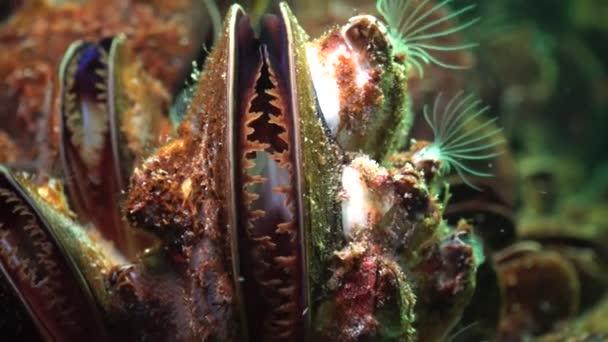 Mittelmeermuschel (mytilus galloprovincialis) und Crustacea balanus sp. Massenansiedlung. Schwarzes Meer. Ukraine.