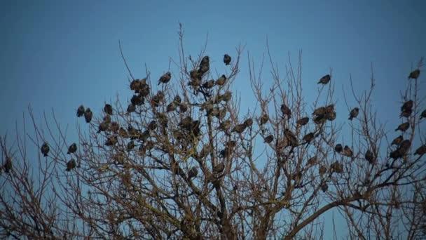 Hejno ptáků hemží proti modré obloze mraky. Velkou skupinu malých ptáků letící blízko sebe lovu hmyzu typické rojí jako hrnou chování špačci