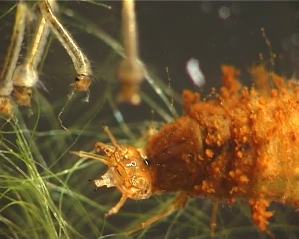 Vyhladovělý larva (složení) hmyzu Chrostíci úlovků a dafnie