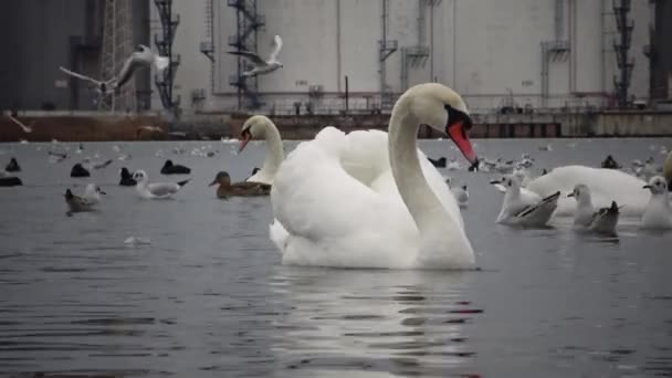 Wild Birds, people, industry. The ecological problem is white swans  Cygnus olor, ducks and seagulls in the seaport waters. Suhoy Liman, Ukraine