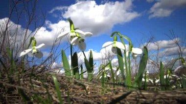Amaryllidaceae, Amaryllidoideae, Galanthus elwesii (Elwess snowdrop, greater snowdrop) in the wild on the slopes of the Tiligul estuary, Red Book of Ukraine