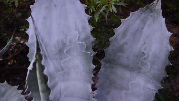 Agave egy botanikus kert a város Phoenix, Arizona