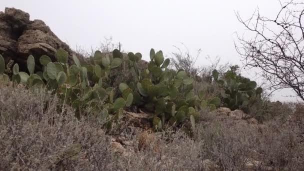 Nyugat és Délnyugat-Amerika kaktuszai. Chenille tüskés körte, cowboy vörös bajusz (Opuntia aciculata). Új-Mexikó
