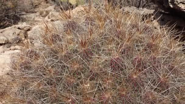 Nyugat és Délnyugat-Amerika kaktuszai. Eper sündisznó kaktusz, szalmaszínű sündisznó (Echinocereus stramineus). Új-Mexikó