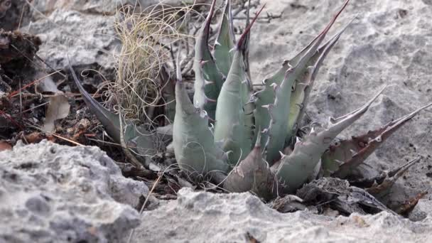 Parry s agave (Agave parryi) Új-Mexikóban