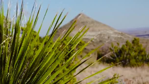 Közönséges szotol, sivatagi kanál (Dthe irion wheeleri). Új-Mexikó