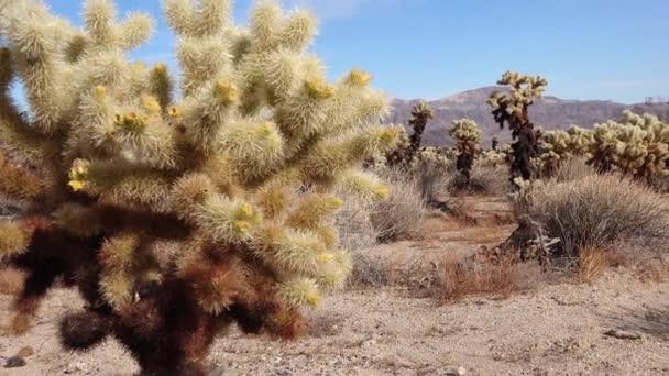 Cholla Kaktusz Kert a Joshua Tree Nemzeti Parkban. Teddy maci cholla (Cylindropuntia bigelovii) és Echinocereus arizonicus. Kalifornia