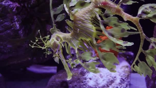 Leafy Seadragon (Phycodurus eques) plave v mořském akváriu, USA