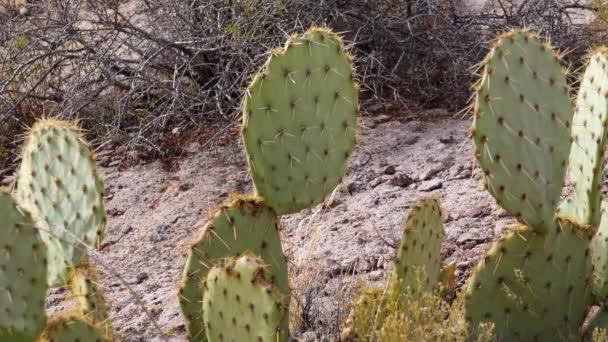 Arizona Kaktusz. Engelmann tüskés körte, kaktusz alma (Opuntia engelmannii), kaktusz télen a hegyekben