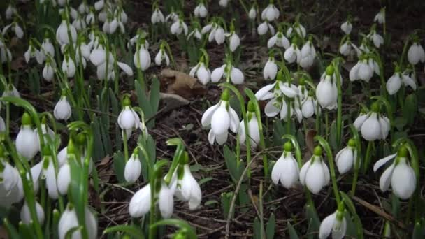 Video posuvník. Amaryllidoideae, Galanthus (Elwesovo sněžení, větší sněžení) v divočině na svazích ústí řeky Tiligul, Červená kniha Ukrajiny