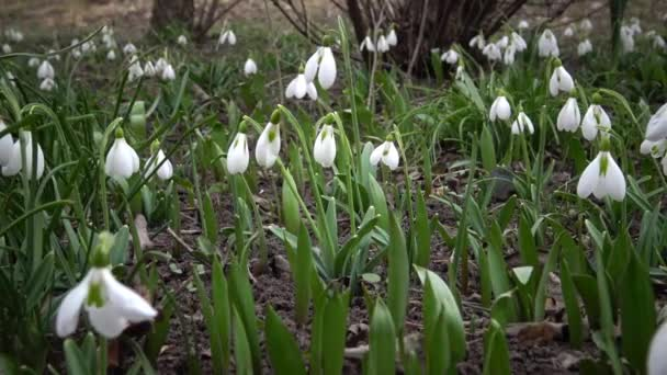 Video slider. Amaryllidoideae, Galanthus (Elwess snowdrop, greater snowdrop) in the wild on the slopes of the Tiligul estuary, Red Book of Ukraine