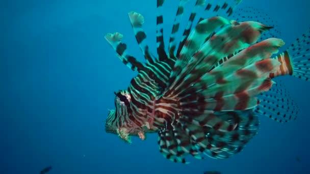 Lvice (Pterois volitans), Ryby loví a plavou přes korálový útes. Rudé moře, Egypt