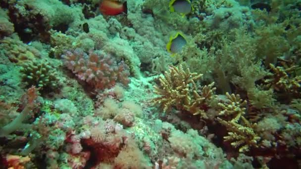 Máselnice tmavá (Chaetodon mellanotus), ryby plují mezi korály na útesu v Rudém moři, Egypt