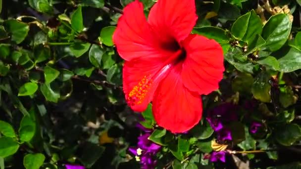 (Hibiscus rosa) Vörös kínai hibiszkusz, Egyiptom