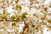 květ jablko větev
