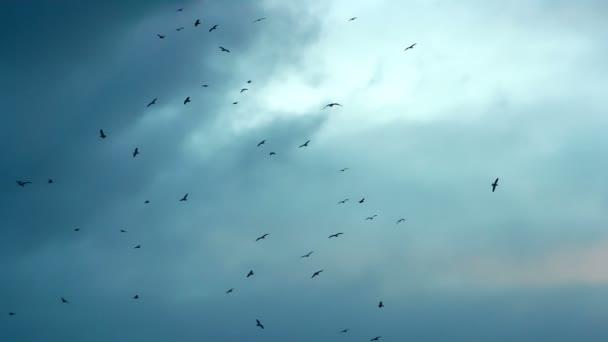 Černí ptáci krouží v terénu. Velký počet ptáků krouží v pozadí zamračená obloha v barvy západu slunce. Natočeno s rychlostí 240 snímků za sekundu