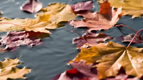 Autumn Sunny Leaf Fall. Autumn leaves fall on the clean surface of the water in the sun. Filmed at a speed of 240fps