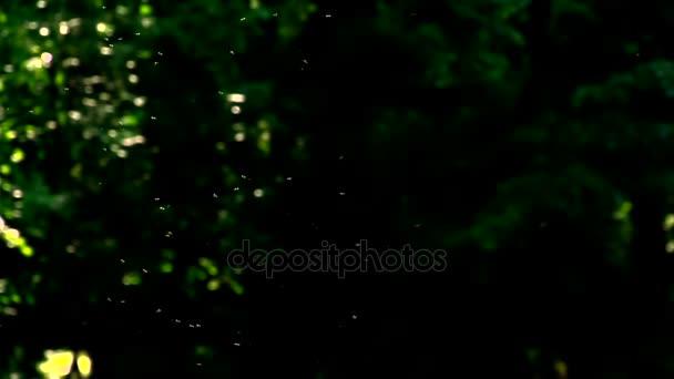 Roj létajícím hmyzem. Mnoho hmyzu vznášející se ve vzduchu mezi větvemi stromů, na tmavém pozadí vegetace