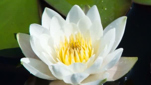 Křehká vodní lilie v bažinatém jezírku. Kvetoucí sněhobílá lilie se pomalu houpe mezi plochými listy