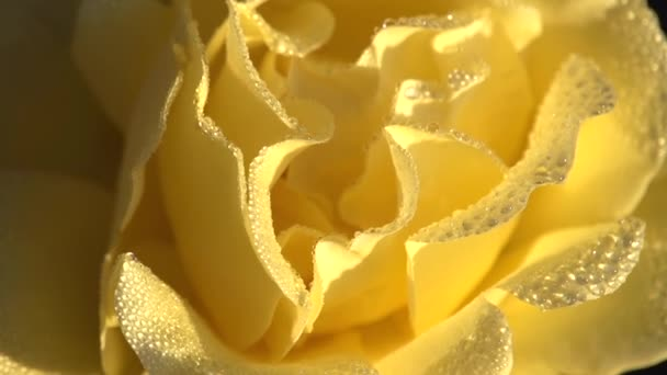Yellow Rose Petals in the Drops of Dew. Yellow rose covered with large transparent drops slowly rotates in front of the camera