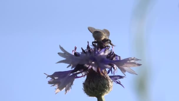Bee on Blue Cornflower. A bee collects nectar in a flower of a meadow cornflower, then flies away