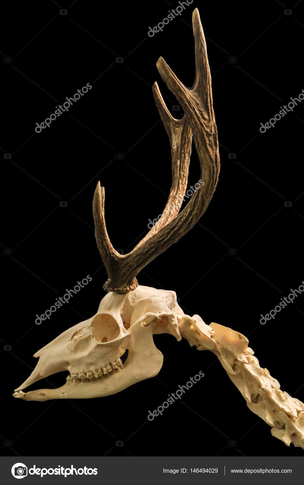 Detalle del esqueleto de ciervo con usado aislado con fondo negro ...