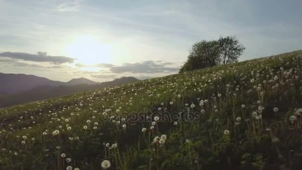 Snímáním Pampeliška louce při západu slunce