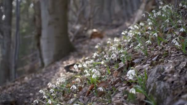 Snowdrops in forest breeze