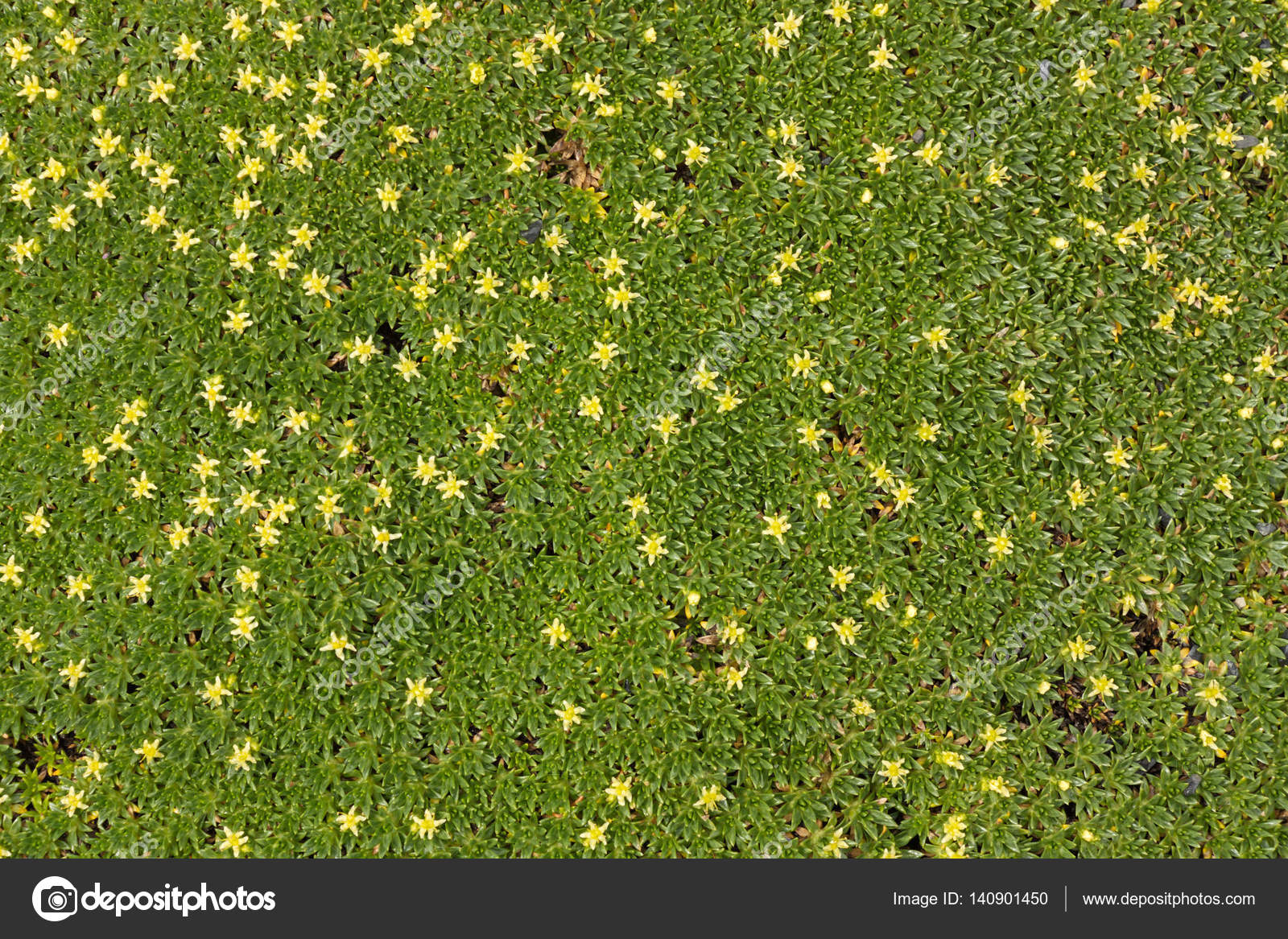 Ground cover plant with small yellow flowers stock photo ground cover plant with small yellow flowers stock photo mightylinksfo