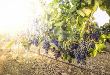Vineyards on sunset