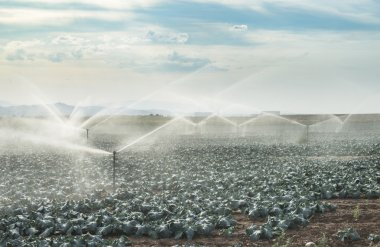 Watering cabbages with sprinklers