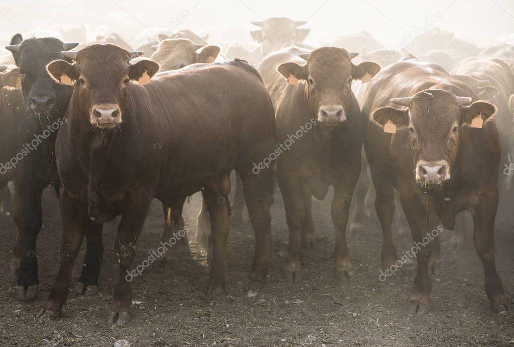 Calves in farm for veal.