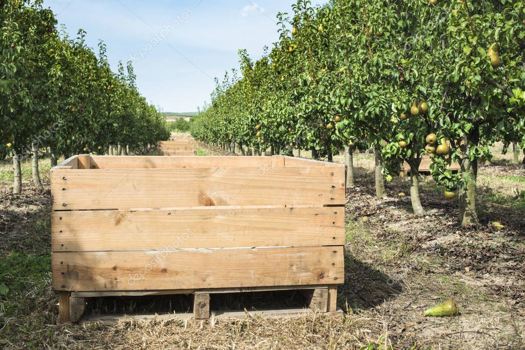 Pears trees and a big wooden crate