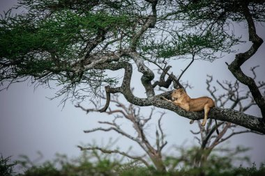 Female lion lying on tree branch