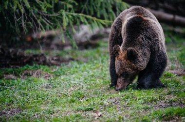 """Картина, постер, плакат, фотообои """"бурый медведь ходит по краю леса """", артикул 138478906"""