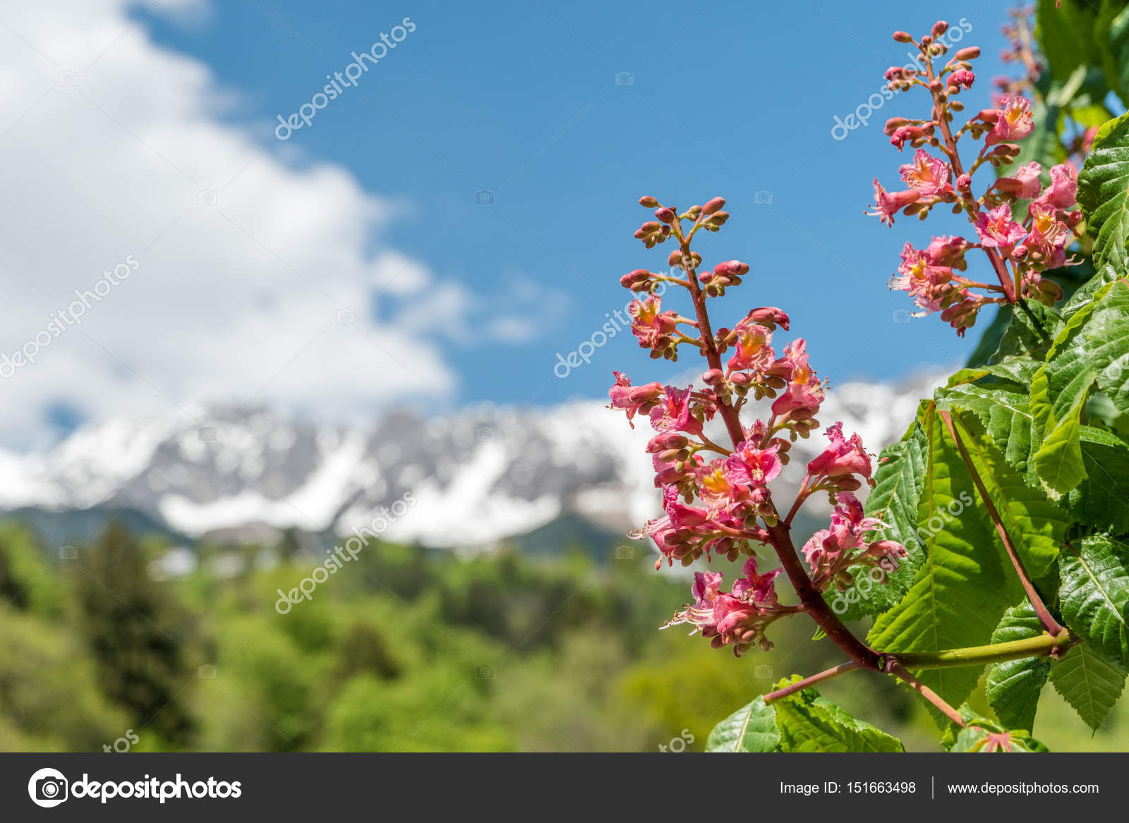 Close up of pink flowers of a chestnut tree stock photo close up during early spring of pink flowers of a chestnut tree in innsbruck austria in the background are the alps with snow on the tops mightylinksfo Gallery