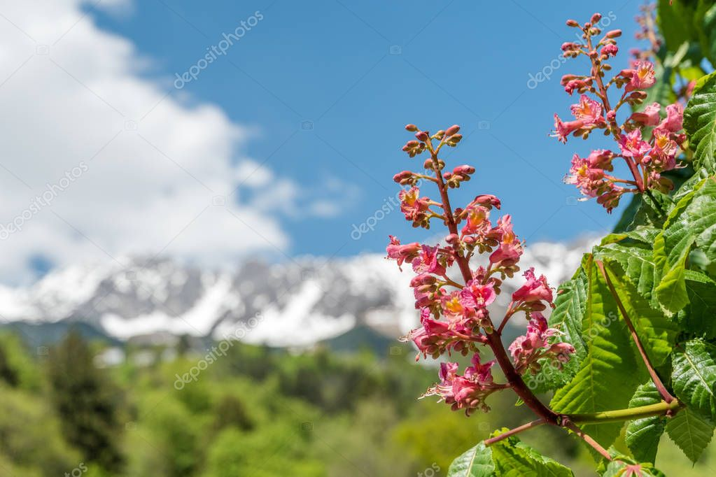 Close-up of pink flowers of a chestnut tree