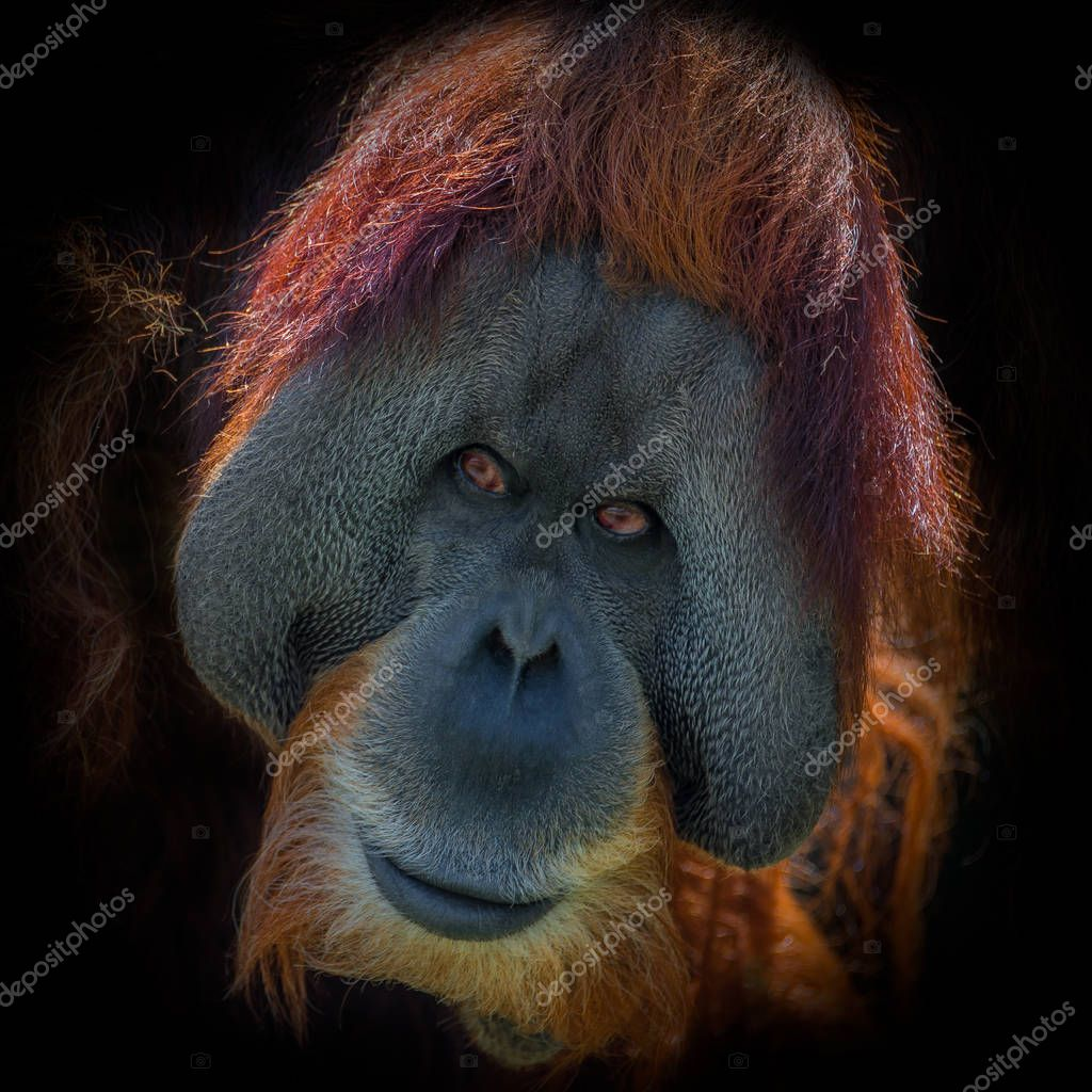 Portrait of very old Asian orangutan on black background